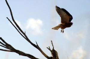 fledglingflying1